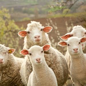 De waarheid achter wol