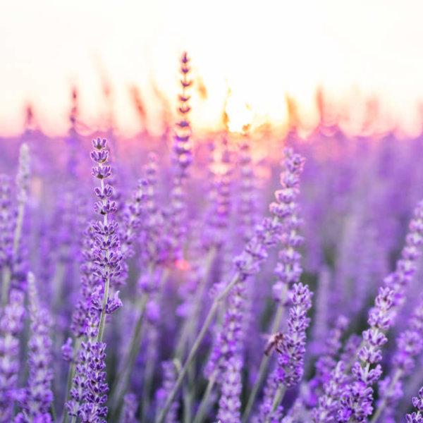 De kalmerende kracht van lavendel